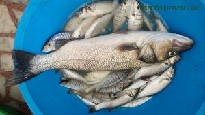 Enez balık (1)